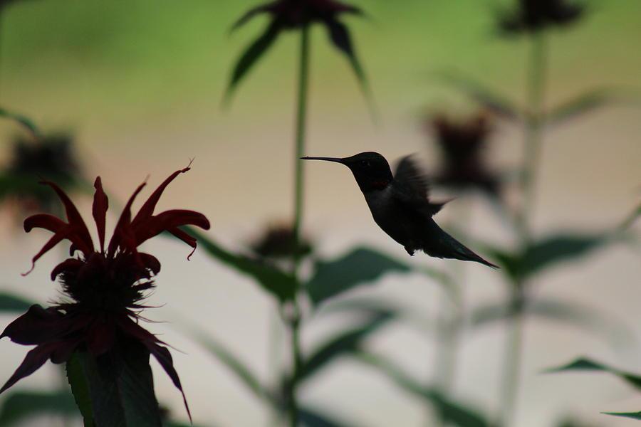 Hummingbird Photograph - Hummingbird by Julien Boutin