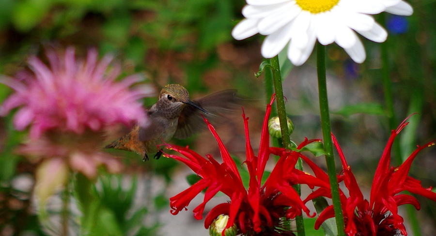 Hummingbird Photograph - Hummingbird Mid Flight by Kat J
