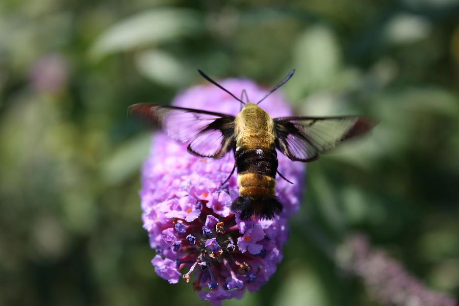 Moths Photograph - Hummingbird Moth by Janet Pugh