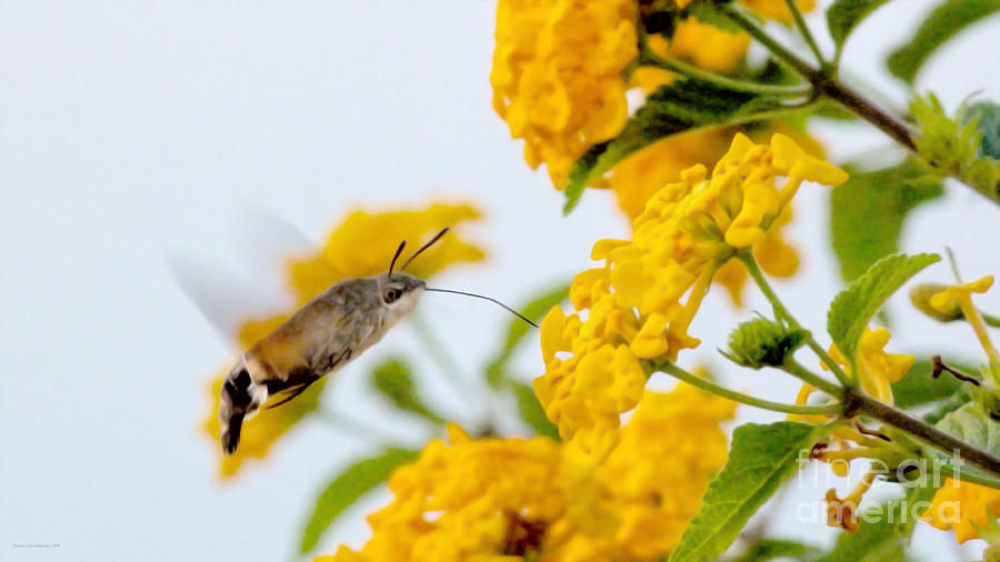 Hummingbird Moth Photograph - Hummingbird Moth by Jason Christopher