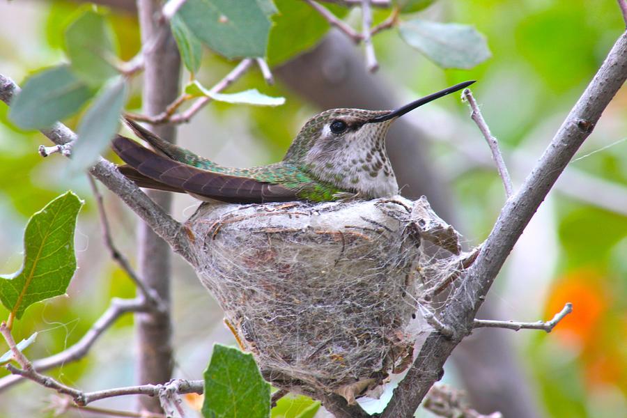 Hummingbird on its Nest by Jon Reddin