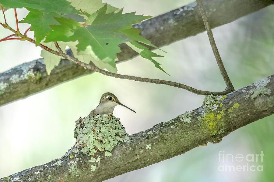 Hummingbird on Nest by Cheryl Baxter