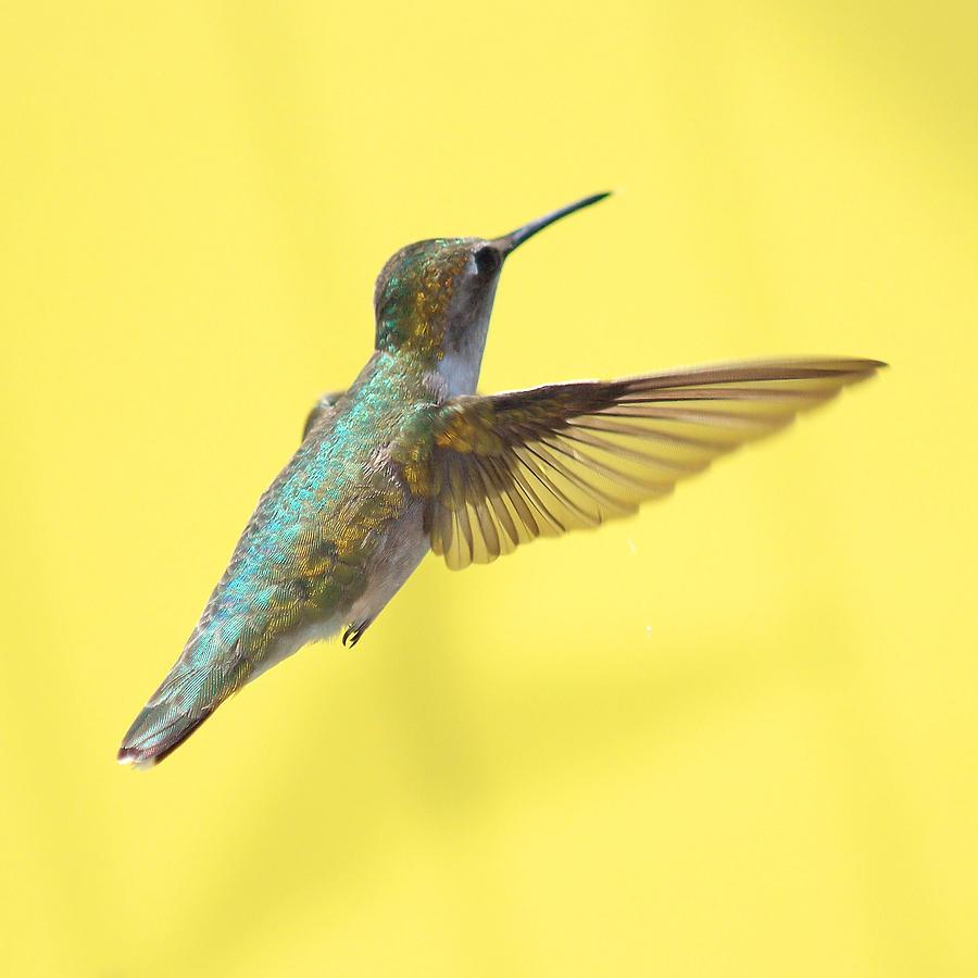 Hummingbird Photograph - Hummingbird On Yellow 3 by Robert  Suits Jr
