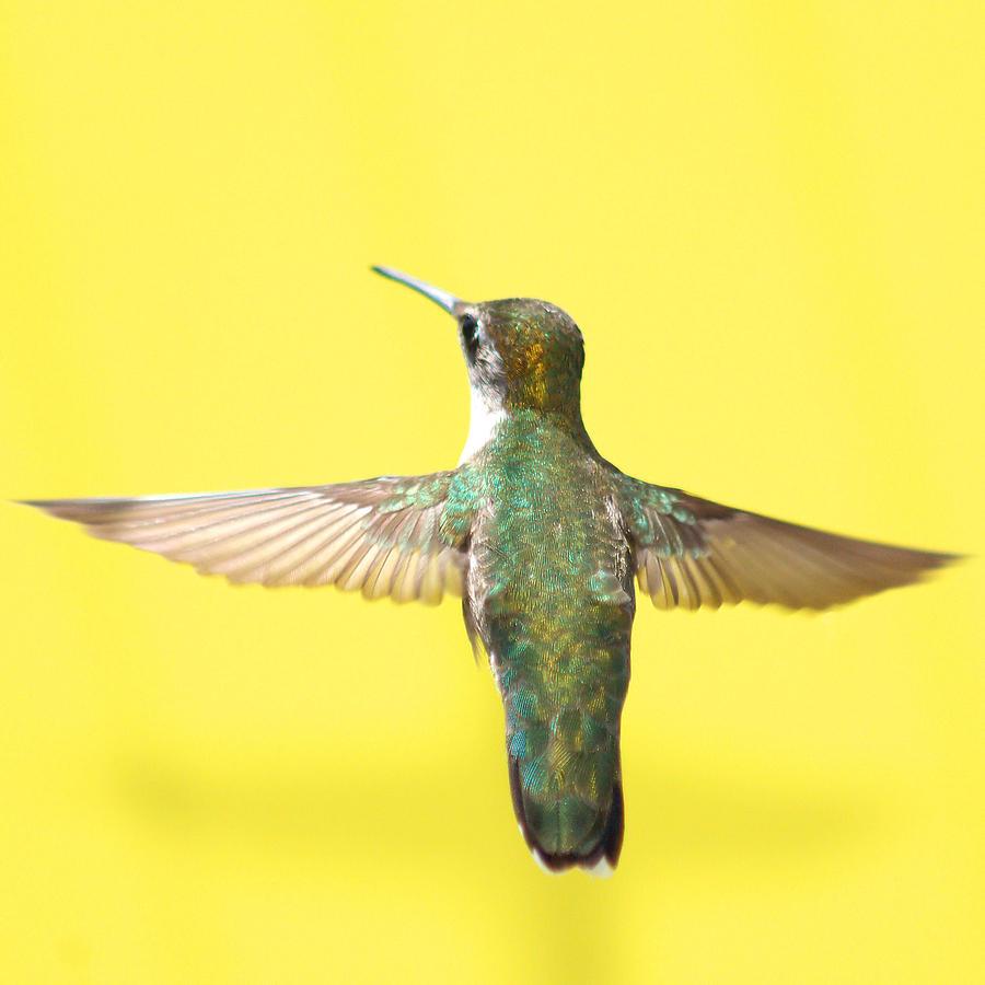 Hummingbird Photograph - Hummingbird On Yellow 4 by Robert  Suits Jr