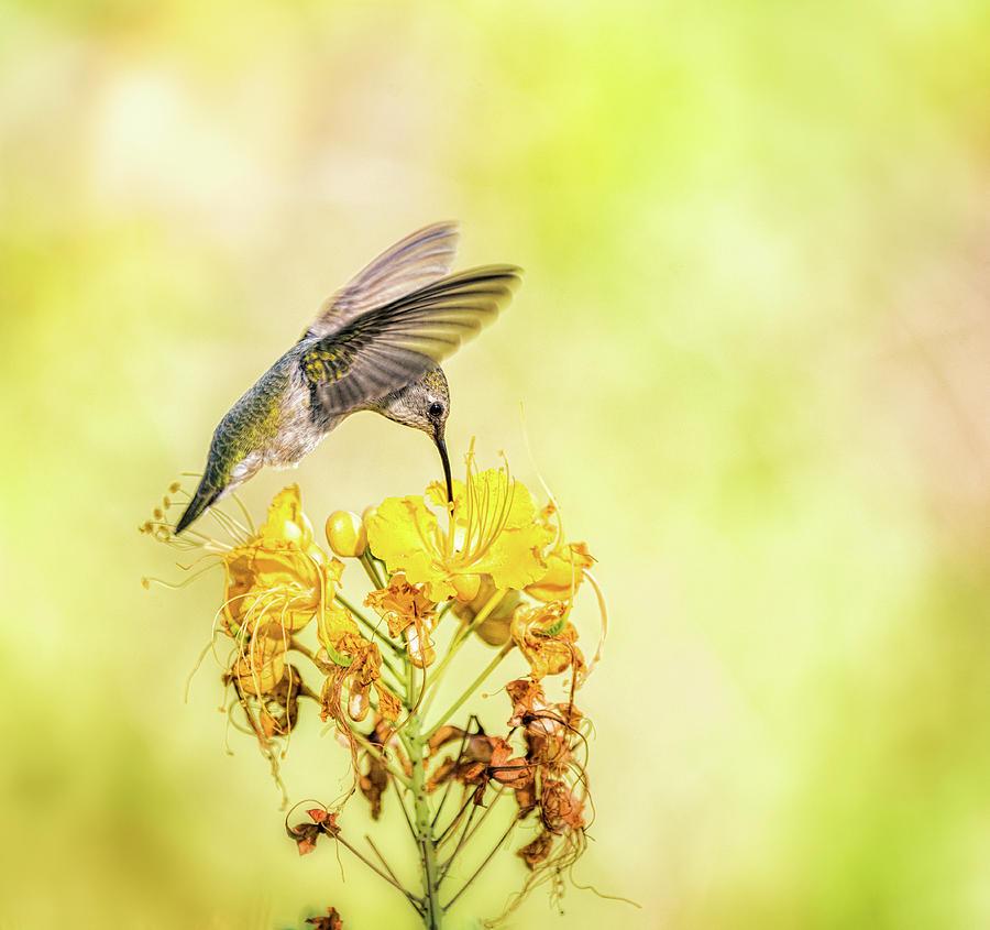 Hummingbird On Yellow Photograph By Saija Lehtonen
