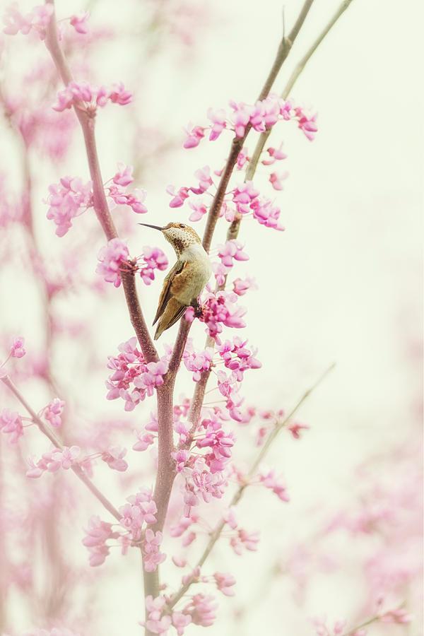 Hummingbird Photograph - Hummingbird Perched Among Pink Blossoms by Susan Gary