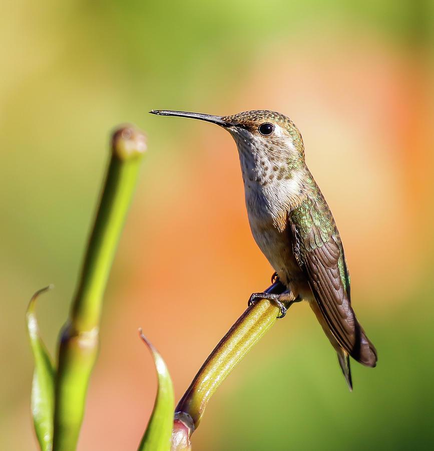 Hummingbird Photograph - Hummingbird Perched II by Athena Mckinzie