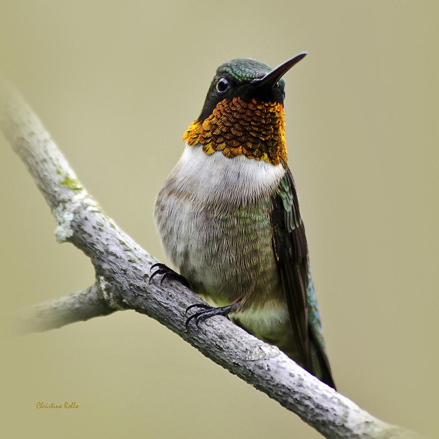 Ruby Throated Hummingbird Photograph - Hummingbird Portrait Square by Christina Rollo