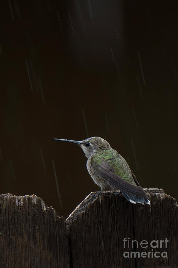 Hummingbird Rain by Christy Garavetto