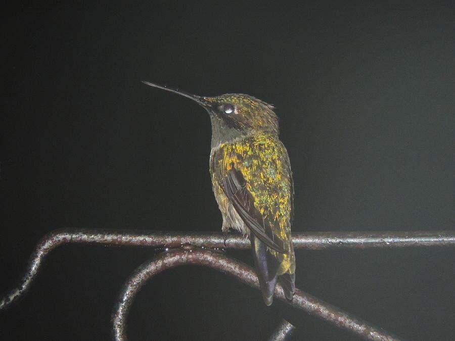Hummingbird Sitting In The Rain Photograph by Aaron Smith