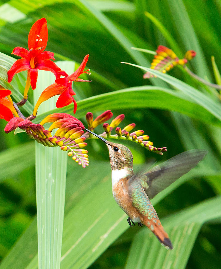 Hummingbird Photograph - Hummingbird Snacking by Rebecca Cozart