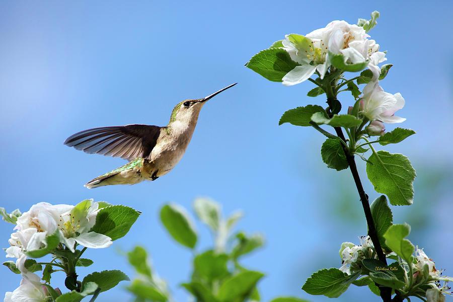 Hummingbird Photograph - Hummingbird Springtime by Christina Rollo
