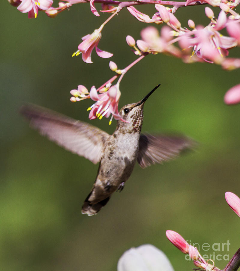 Hummingbird Surrounded By Pink Photograph