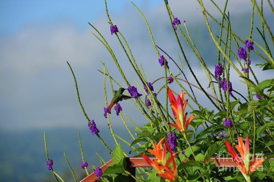 Hummingbird by Tammie Miller