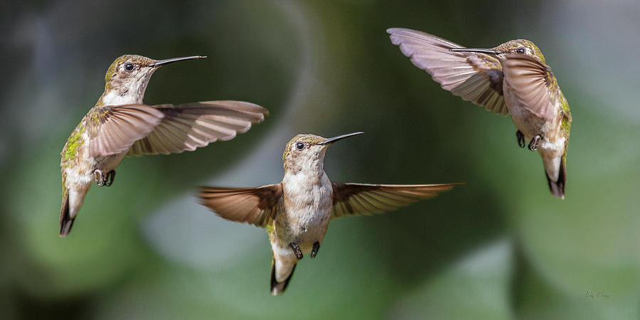Hummingbird Trio Photograph