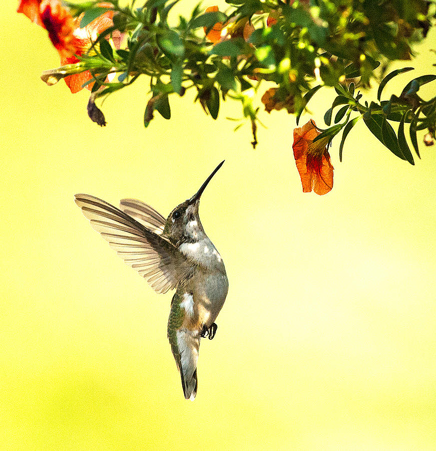 Hummingbird Under the Floral Canopy by William Jobes
