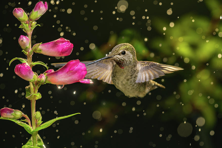 Anna Photograph - Hummingbird Visits Flowers In Raining Day by William Freebilly photography