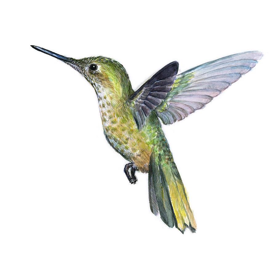 hummingbird watercolor illustration painting by olga shvartsur