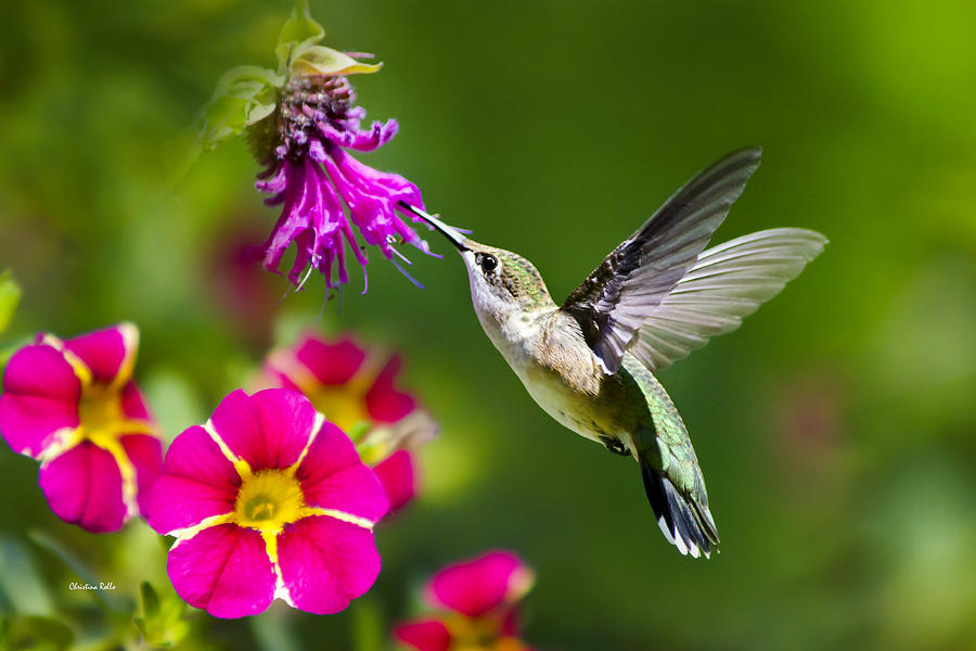 Hummingbird With Flower Photograph By Christina Rollo
