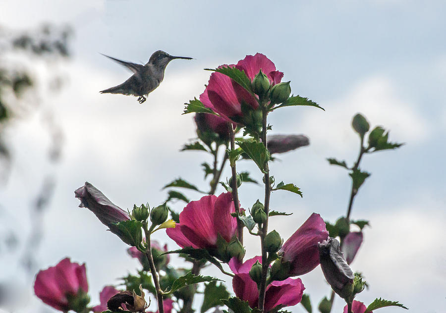 Hummingbird with Rose of Sharon by Photographic Arts And Design Studio