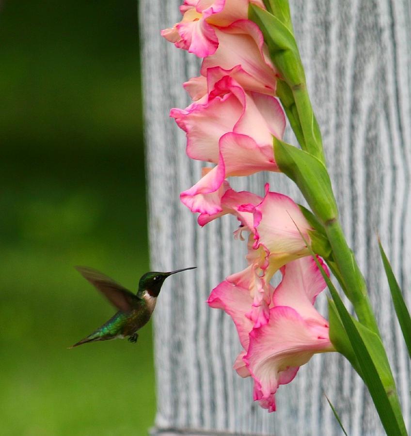 Hummingbird Photograph - Hummingbird1 by Shelley Wilson