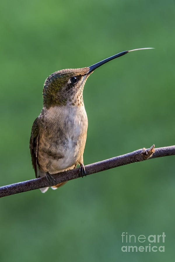 Bird Photograph - Hummingbirds Quick Tongue by Madonna Martin