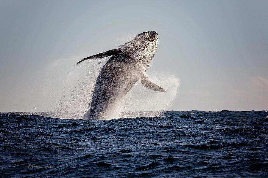 Humpback Breach by Deana Glenz