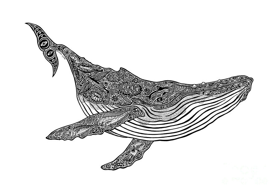 Humpback Whale Line Drawing : Humpback drawing by carol lynne