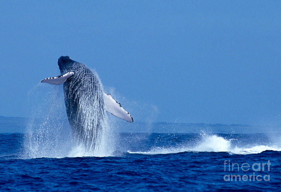 Blue Photograph - Humpback Whale Breaching by Ed Robinson - Printscapes