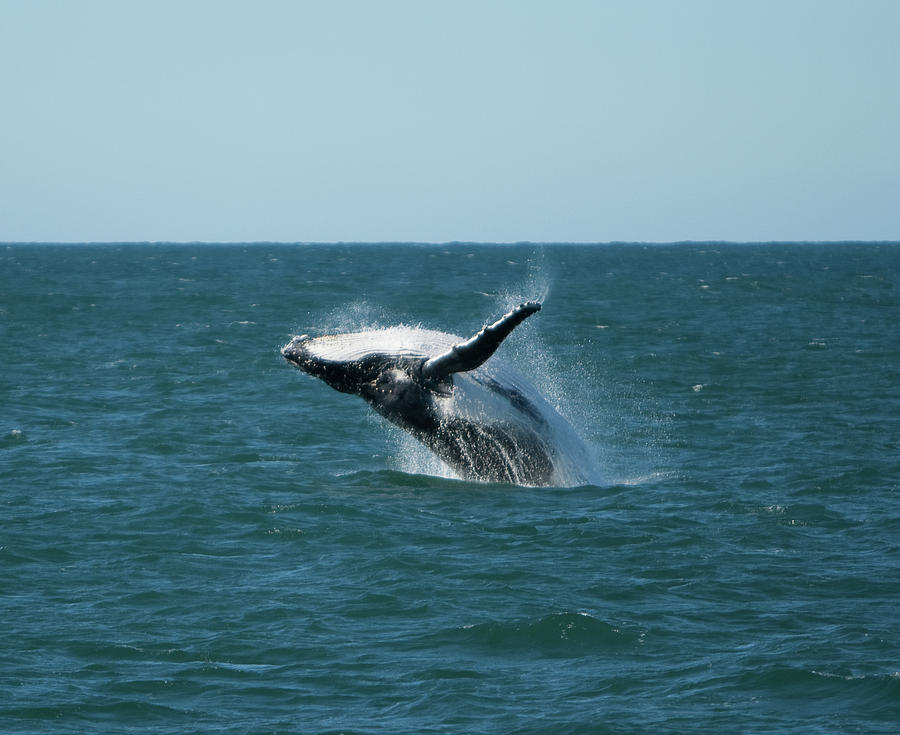 Horizontal Photograph - Humpback Whale Breaching by Peter K Leung