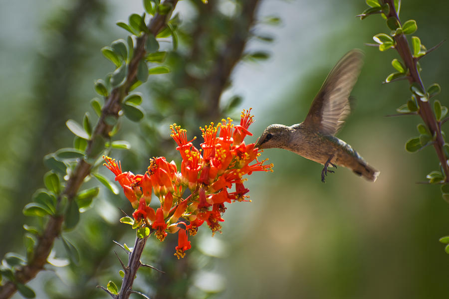 Hummingbird Photograph - Hums With Its Mouth Full by Richard Henne