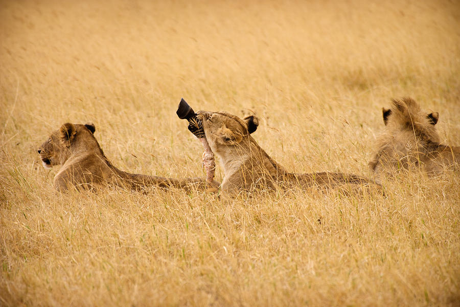 3scape Photos Photograph - Hungry Lions by Adam Romanowicz
