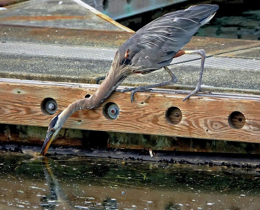 Bird Photograph - Hunting Heron by Rick Lawler