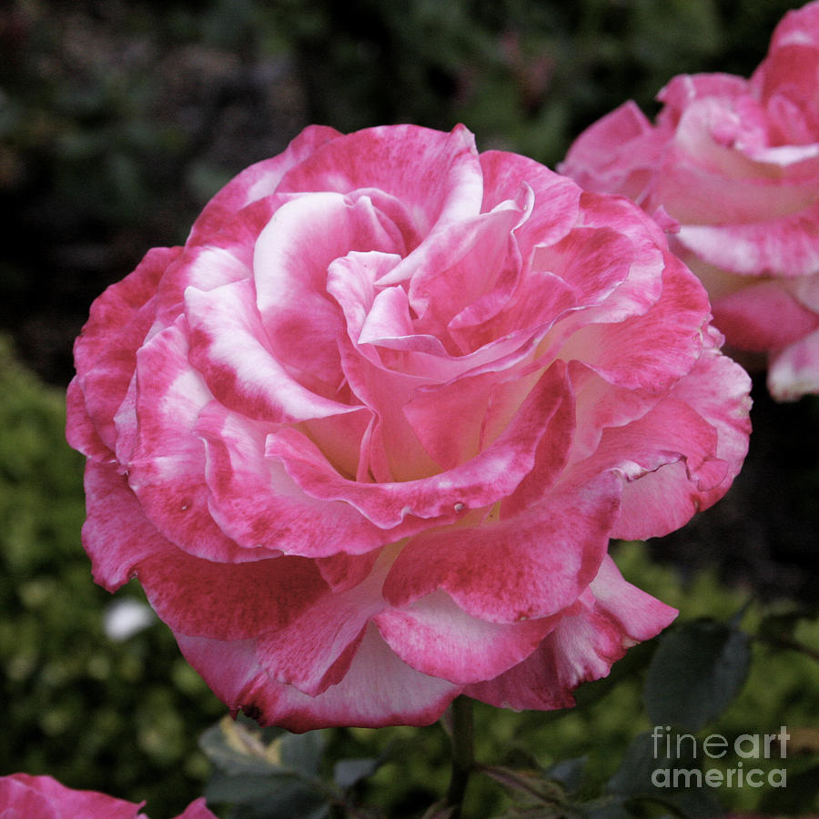 Floral Photograph - Hurst Castle Rose by Paul Anderson