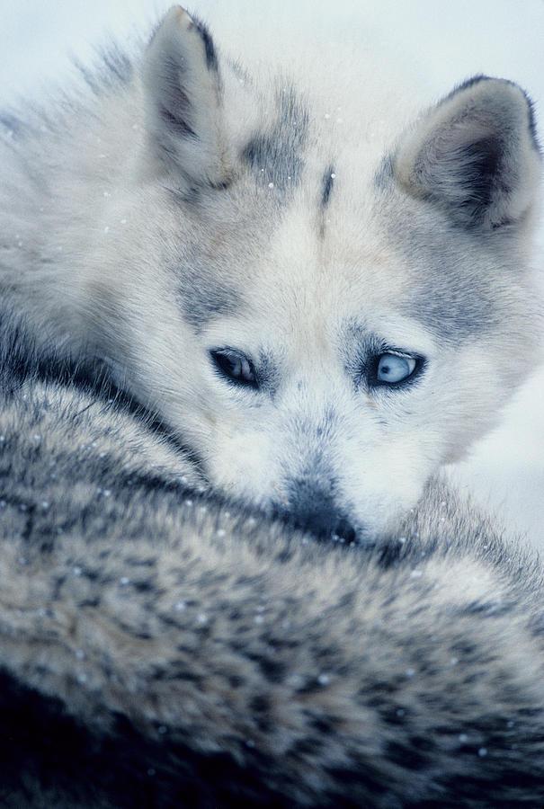 Husky Photograph - Husky Curled Up by Steve Somerville