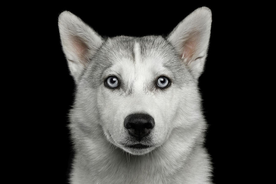 Dog Photograph - Husky puppy by Sergey Taran