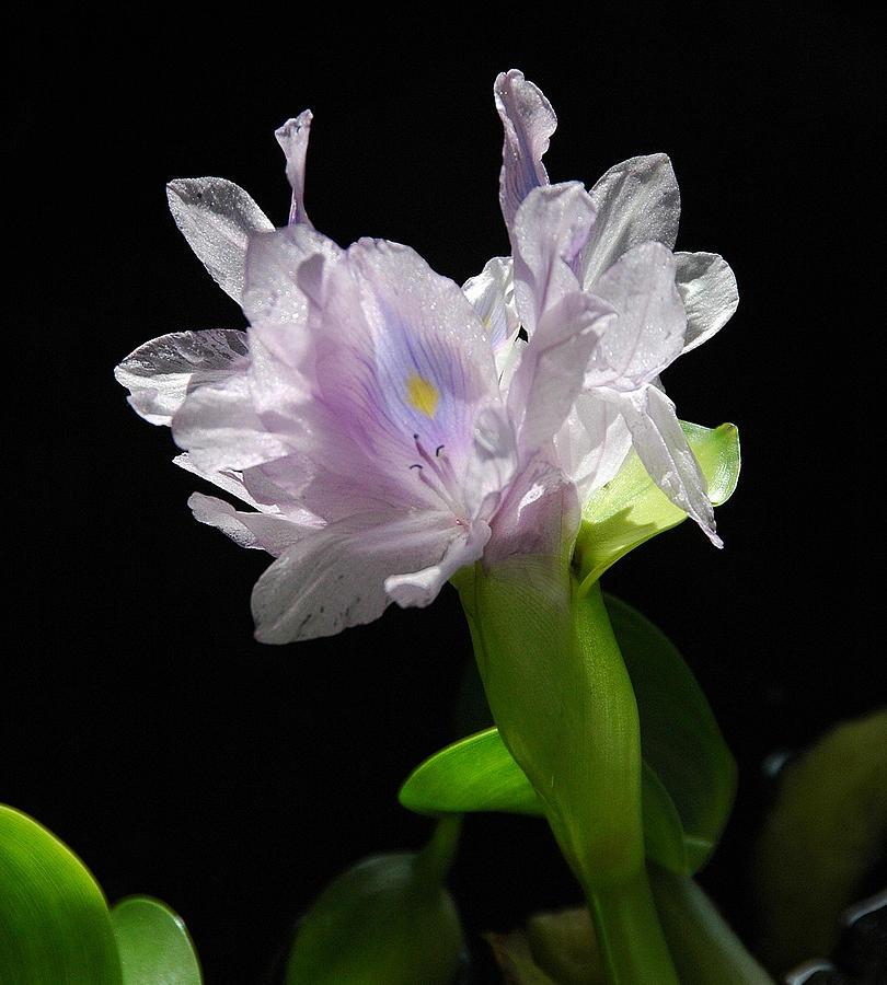 Hyacin Photograph by Dan Fulk
