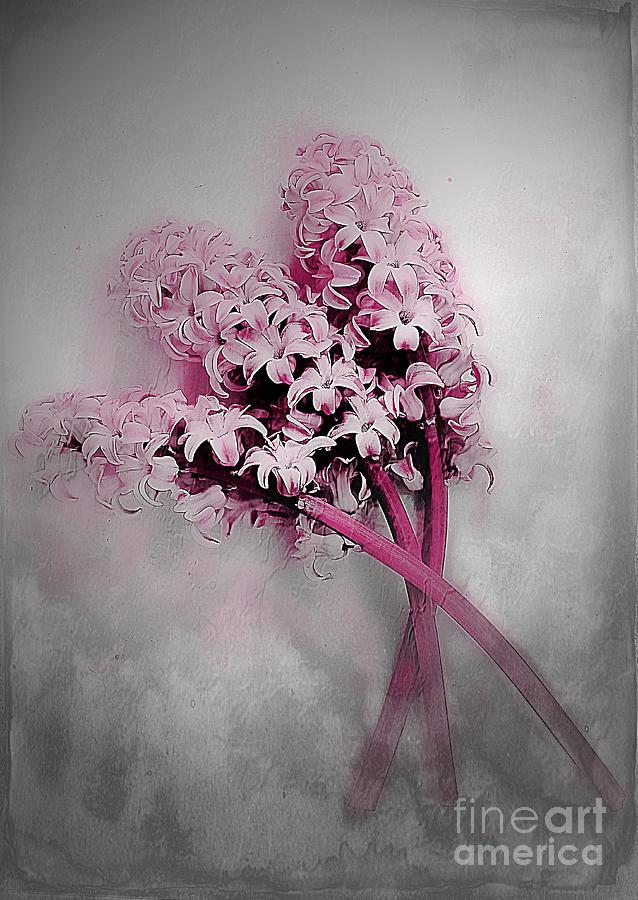 Hyacinth Dust Photograph