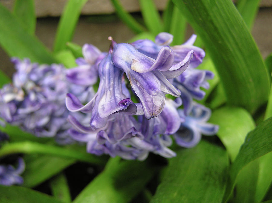 Flower Photograph - Hyacinth Flowers by Richard Mitchell