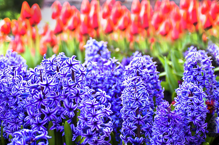 Red Photograph - Hyacinth In Bloom by Tamyra Ayles