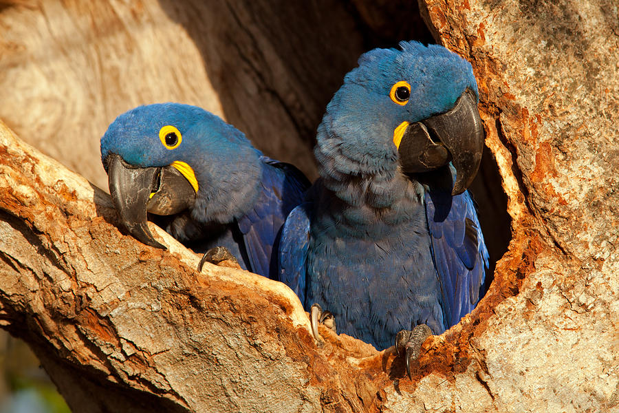 Hyacinth Macaw Pair in Nest by Aivar Mikko