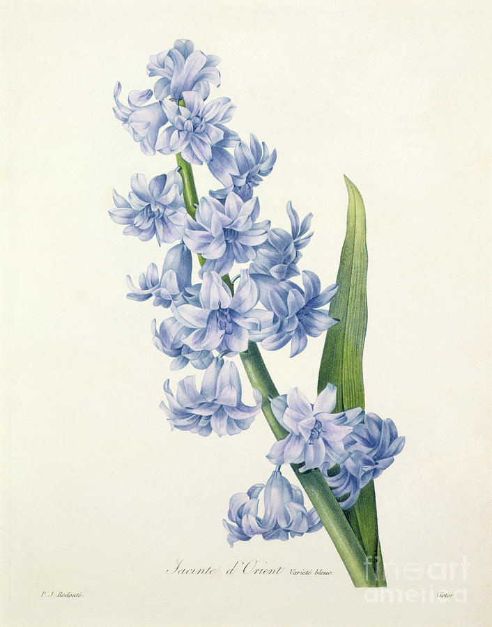 Hyacinthus Drawing - Hyacinth by Pierre Joseph Redoute