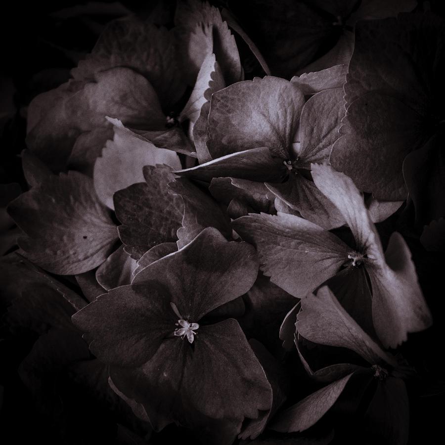 Hydrangea Photograph - Hydra Head by Rod Sterling