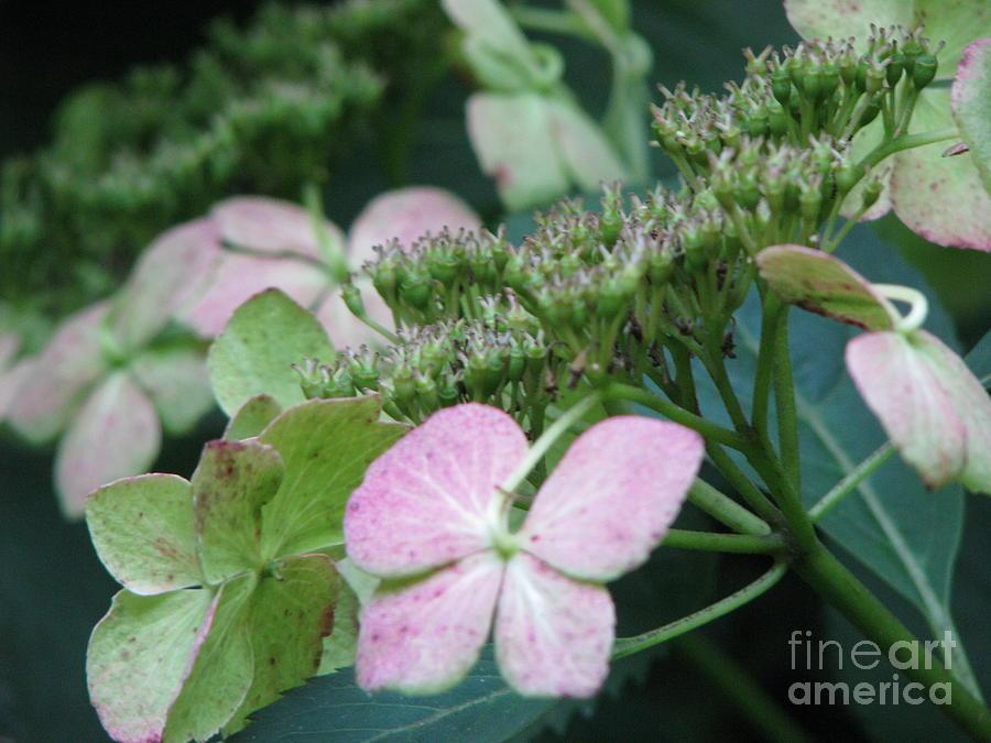 Hydrangea Photograph - Hydrangea by Amanda Barcon