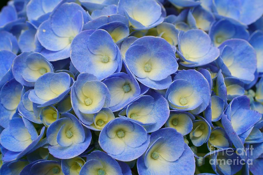 Flora Photograph - Hydrangea Closeup by Gaspar Avila