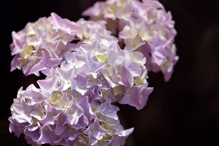 Flower Photograph - Hydrangea by Evelyn Patrick