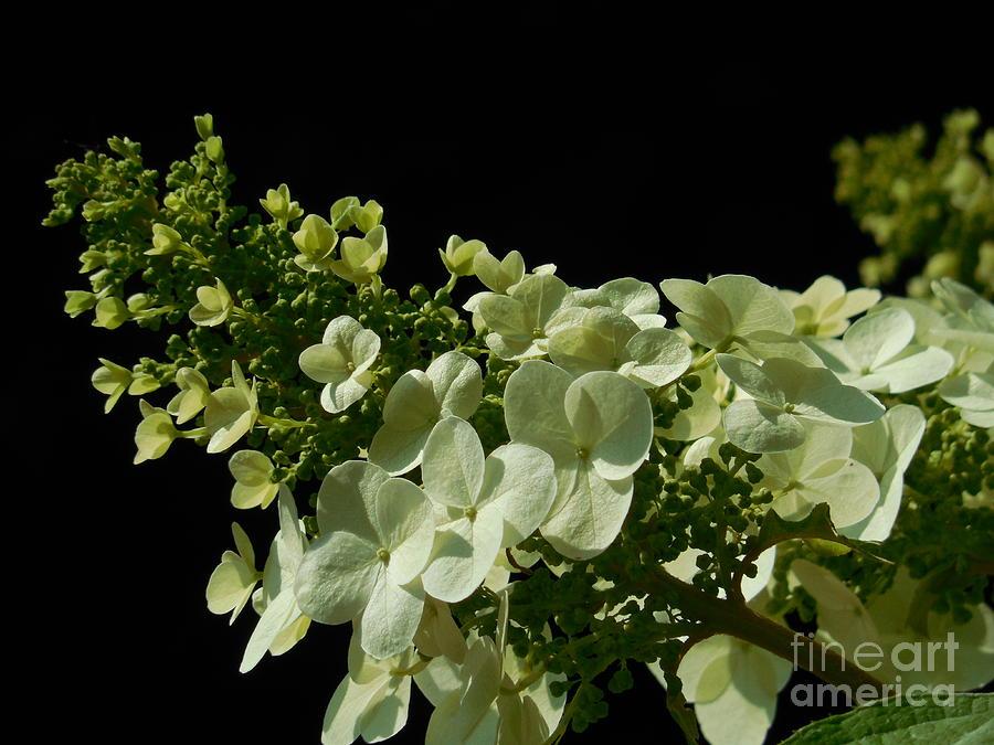 Hydrangea Photograph - Hydrangea Formal Study Landscape by Rowena Throckmorton