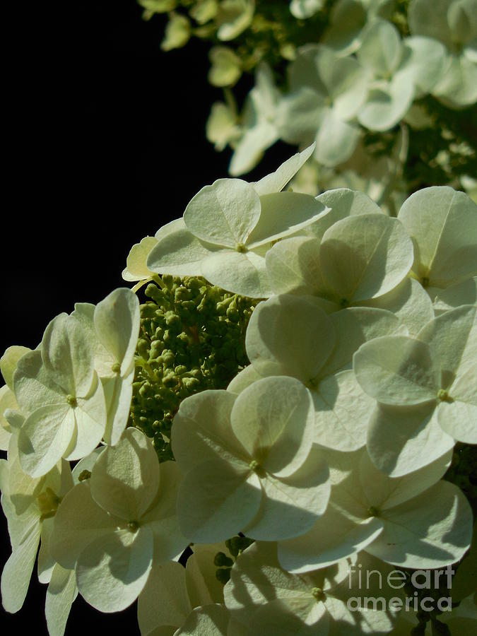 Hydrangea Photograph - Hydrangea Formal Study Portrait by Rowena Throckmorton