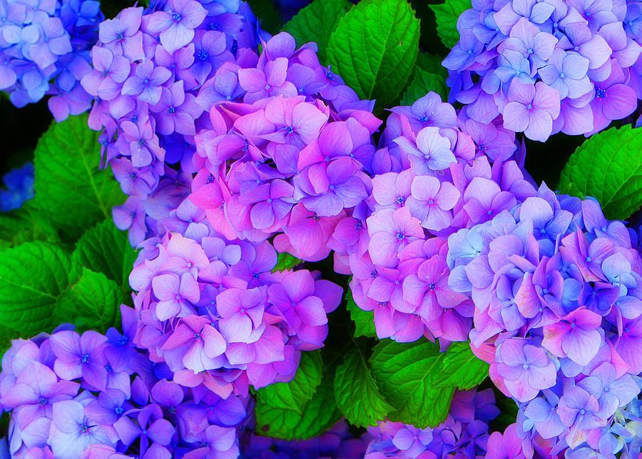 Flower Photograph - Hydrangea by George Harris