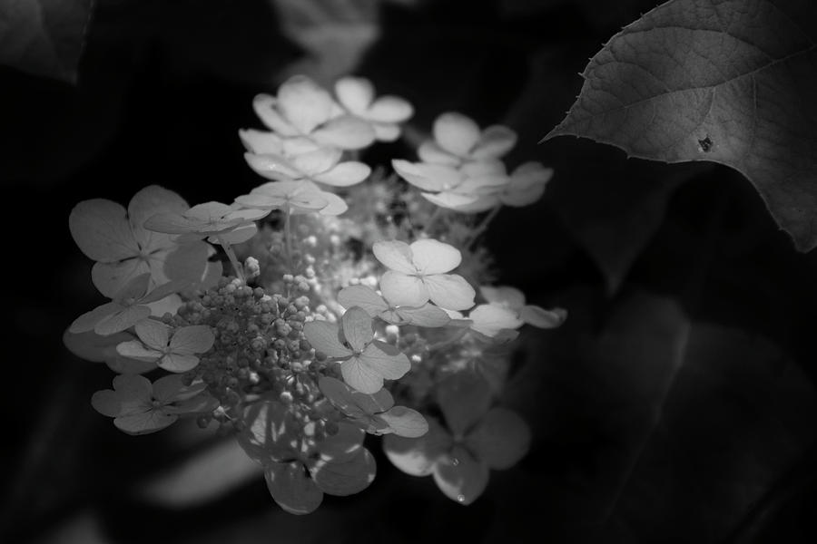 Hydrangea In Black And White by Chrystal Mimbs